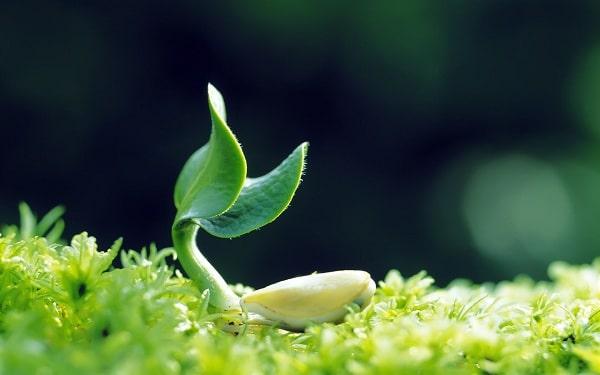 Tự làm viên mầm đậu nành tại nhà đơn giản và an toàn vệ sinh, cách tự làm viên mầm đậu nành