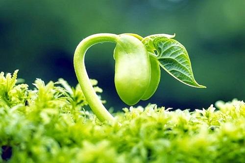 Isoflavon trong mầm đậu nành có tác dụng hỗ trợ bổ sung Estrogen